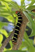 Tetrio Sphinx Caterpillar native to Antigua Barbuda in the Caribbean Lesser Antilles West Indies eating a leaf on a frangipani tree. — Photo