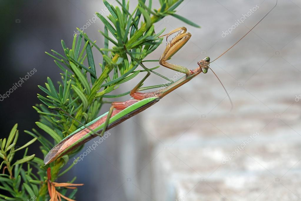 This Brown and green praying Mantis (Mantis religiosa) is a stick ...