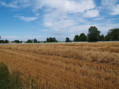 Freshly cut wheat straw piled in rows ready to bale with farm buildings and picket fence behind it. — Stock Photo