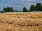 Freshly cut wheat straw piled in rows ready to bale lined by a picket fence. — Stock Photo