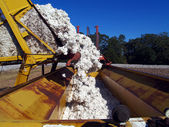 A load of cotton being dumped from a boll buggy. — Stock Photo