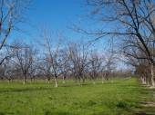 A grove of pecan trees in the winter time with beautiful green grass and blue sky. — Stock Photo