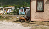Sheep Roaming the Neighborhood in Antigua Barbuda — Stock Photo