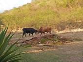 Fighting Bulls in Antigua Barbuda — Stock Photo