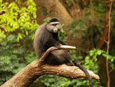 Lone monkey sitting on a limb. — Stock Photo