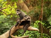 A pair of monkeys sitting side by side perched on a limb. — Stock Photo
