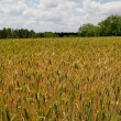 Field of ripening bearded wheat in south Georgia. — Stock Photo #56286719