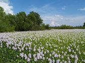 Ein Meer von schwimmenden Lavendel Blumen auf dem Land-Teich. — Stockfoto