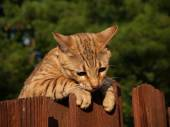 A striped gold colored female Serval Savannah cat looking down over a wooden fence wearing a pink collar. — Stock Photo