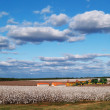 Country panorama of cotton fields at harvest time in south Georgia, USA underneath a cloudy blue sky. — Stock Photo #56681245