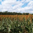 Ripening sorghum field in south Georgia USA — Stock Photo #56681535