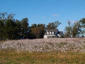 Old white historic farmhouse behind a ripe cotton field in south Georgia, USA. — Stock Photo