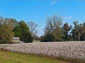 Old barn behind a fully ripe cotton field in south Georgia. — Stock Photo