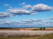 Country panorama of cotton fields at harvest time in south Georgia, USA underneath a cloudy blue sky. — Zdjęcie stockowe