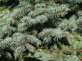 Close up view of blue spruce branches. — Stock Photo