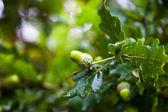 Green acorns — Stock Photo