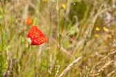 One red poppy — Stock Photo