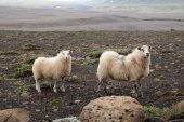 2 sheeps in iceland — Stok fotoğraf
