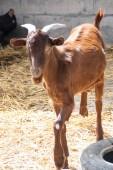 Goat in the barnyard — Stock Photo