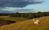 Schafe auf dem feld — Stockfoto