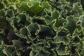 Organic Kale — Stock Photo