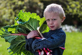 One little preschool boy who have Harvest one great bunch of rhubarbs in the garden on a sunny spring day. — 图库照片