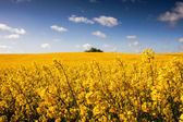 Canola field, Rape field — Stock Photo
