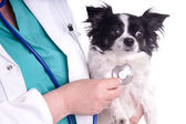 Vet and Dog, Chihuahua — Stock Photo