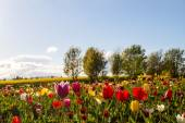 Colorful tulip flowers on the Field — Stock Photo