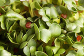 Summer Green Fresh Organic Cress — Stock Photo