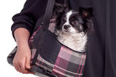 Black and white accessories dog chihuahua — Stock Photo