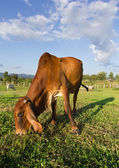 Cow eating grass — Stock Photo