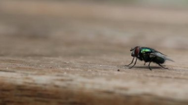 Common house fly takes off — Video Stock