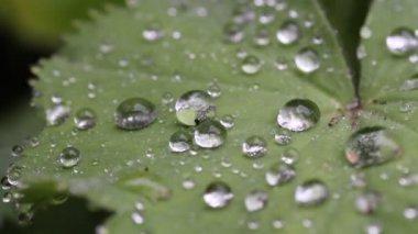 Rain droplets on leaf in the rain — Stock Video