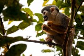 A common squirrel monkey playing in the trees — Stock Photo