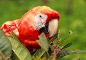 Beautiful ara maccaw parrot over tropical background — Stock Photo