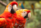 Couple of ara maccaw parrot — Stock Photo