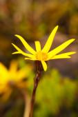 Yellow flower, National Park Llanganate, south america — Stock Photo