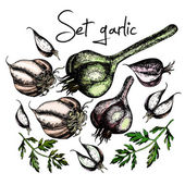 Set of garlic. Illustrations. Vector. — Stock Vector