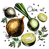 Set of onion. Illustrations. Vector. — Stock Vector