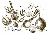 Set of drawing onions and garlic . Illustrations. — Stockvektor