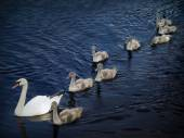 Family of swans 2 — Stock Photo