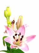 Pink lily with blossom and buds isolated on white, upright — Stock Photo