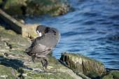 Coot dressing up the feathers, stones and blue sea in the backgr — Stock Photo