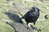 Crow standing on mossy rocks — Stockfoto