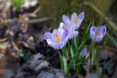 Group of crocus flowers in the early spring garden — Stock Photo