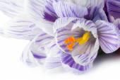 Spring flower crocus macro on white background — Stock Photo