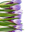 Crocusses as border background isolated on white — 图库照片