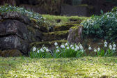 Natural stone stairs in a hillside garden with spring snowflake — Stock Photo