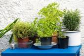 Herbs in pots on a blue table against a white wall — Stock Photo